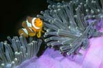 False clown fish