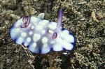 Chromodoris hintantuensis