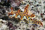 Magnificent ceratosoma nudibranch
