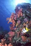 Soft corals with butterflyfish