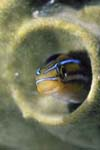 Sabertooth blenny